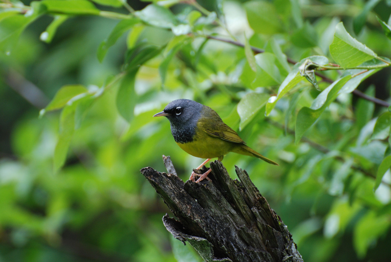 MacGillivray's Warbler at Hause Creek, Yakima County