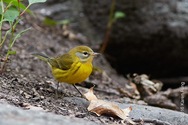 5 Sept: Prairie Warbler in Central Park
