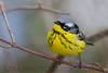 Magnolia Warbler (2781)