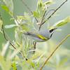 golden-winged warbler: Vermivora chrysoptera, Thomas Dolan Parkway