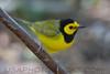 Hooded Warbler (b2755)
