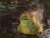 Orange Crowned Warbler (b2811)