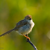 graceful prinia פשוש