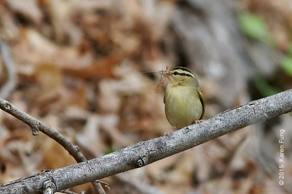 9 May: Worm-eating Warbler at Doodletown