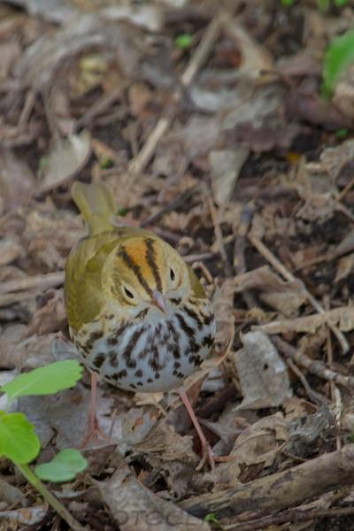 Oven Bird (b1521)