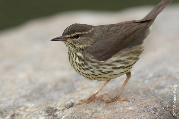 May 10th: Northern Waterthrush in Central Park