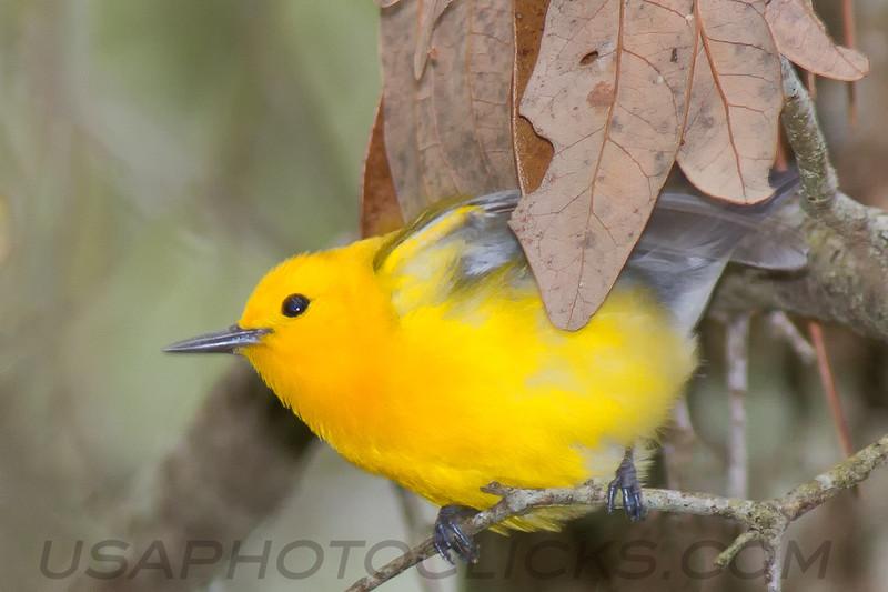 Phothonotary Warbler (b2843)