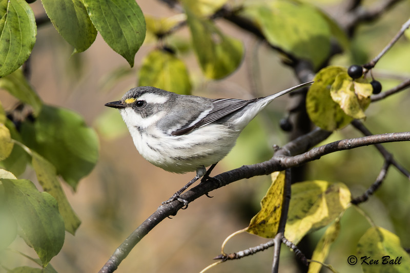 black-throated gray warbler: Setophaga nigrescens, Mud Lake