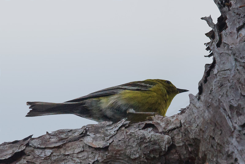 Blue Winged Warbler (b2721)