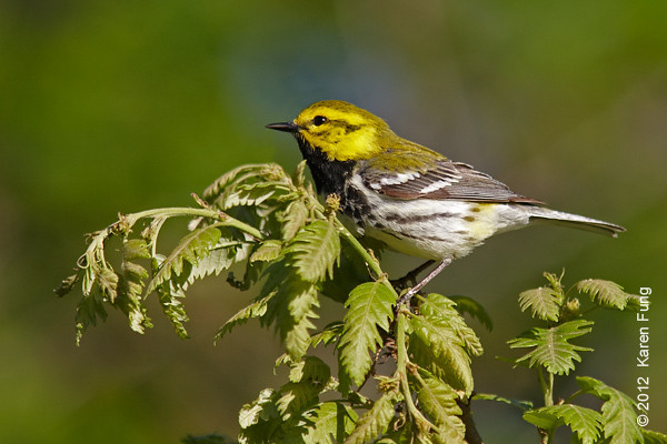 12 May: Black-throated Green Warbler in Central Park