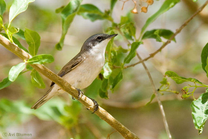 lesser  whitethroght סבכי טוחנים