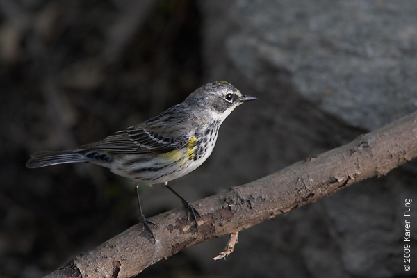 April 28th: Yellow-rumped Warbler (female) in Central Park