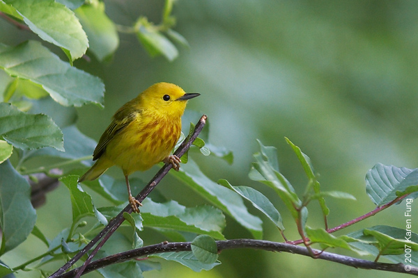 Yellow Warbler at Jamaica Bay Wildlife Refuge