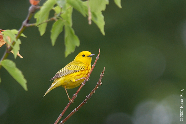 Yellow Warbler at the Celery Farm (Allendale, NJ)
