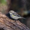Myrtle Yellow-rumped Warbler