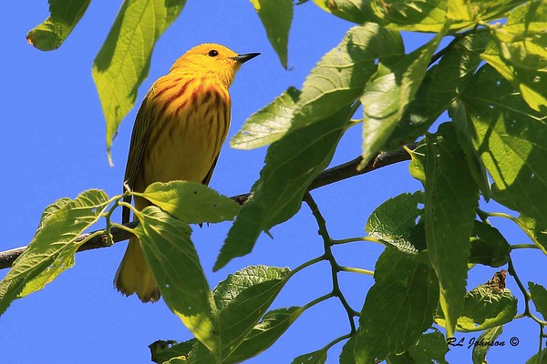 Yellow Warbler - Montrose Point, Chicago, IL