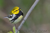 Black Throated Green Warbler (b2704)