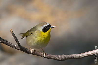 May 7th: Common Yellowthroat in Central Park