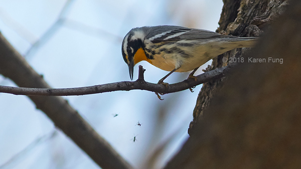 14 April: Yellow-throated Warbler, Central Park (The Pool)