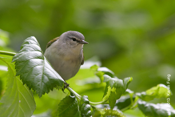 16 May: Tennessee Warbler in Central Park