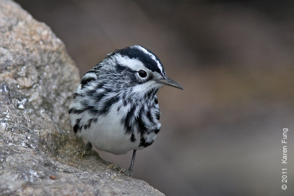 7 May: Black-and-white Warbler in Central Park