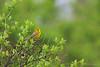 Prairie Warbler<br /> West Danby, NY