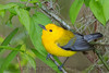 Phothonotary Warbler (b2842)