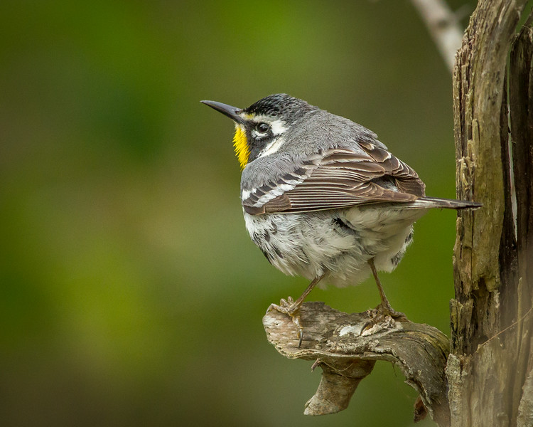 Yellow-throated Warbler, South Padre Island Convention Center, Texas