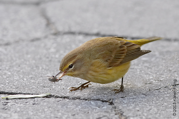 Palm Warbler in Wagner Park (Manhattan)