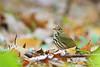 Ovenbird<br /> Ithaca, NY