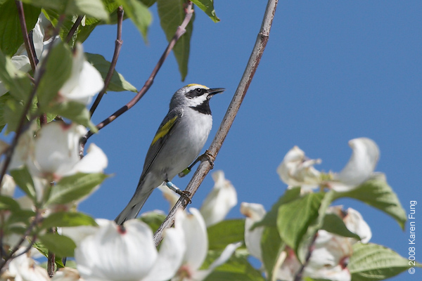 May 26th: Golden-winged Warbler in Sterling Forest