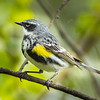 Mud Lake, yellow-rumped warbler: Dendroica coronata, Myrtle, male