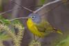 Nashville Warbler (b2802)
