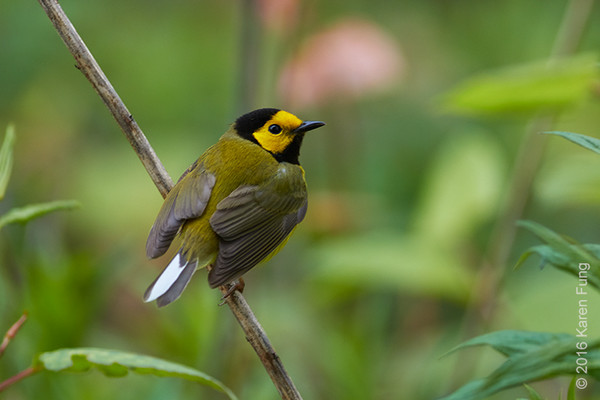 2 May: Hooded Warbler in Central Park