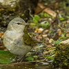 Tennessee Warbler, South Padre Island Convention Center, Texas