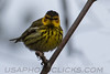 Cape May Warbler (b2733)