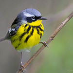 Magnolia Warbler - At Richard W. DeKorte Park