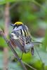 Chestnut Sided Warbler (b2743)