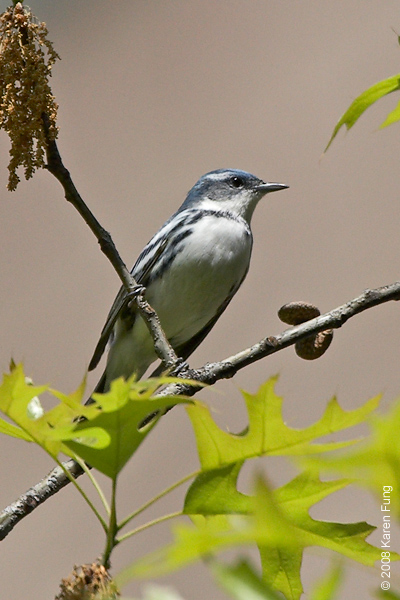 May 4th: Cerulean Warbler, West 89th St., Manhattan.  A rare sighting in an unexpected locale.