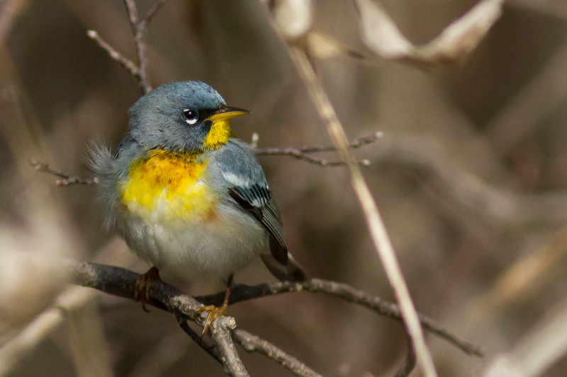 Northern Parula, Prince Edward Point National Wildlife Area, Ontario