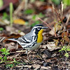 Yellow-throated Warbler - April 2014