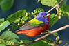 Painted Bunting - April 2011 - Dauphin Island