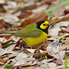 Hooded Warbler - March 2014