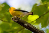 "Prothonatory Warbler saying ""sweet,sweet,sweet,sweet"""