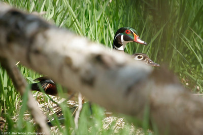 pair of Wood Ducks in Crepeau