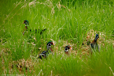 Male Woodducks