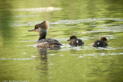 Hooded Merganser and chicks