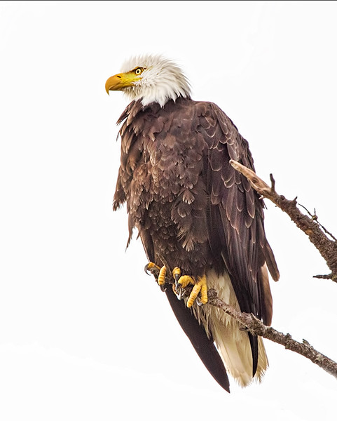 Bald Eagle - Port Angeles, Washington