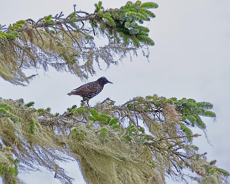 European Starling, La Push