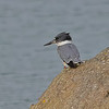 Belted Kingfisher, La Push